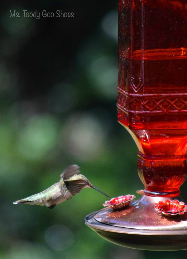 It's easy to attract hummingbirds if you follow these six tips | Ms. Toody Goo Shoes