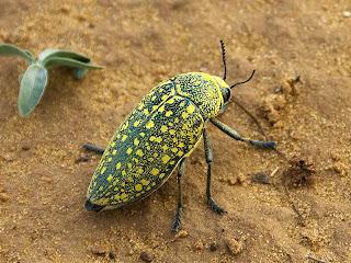 """""""Escarabajo rinoceronte"""""""