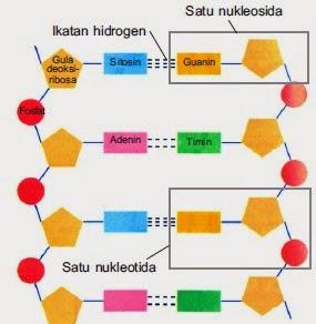 Penjelasan dna rna sintesis protein dan kode genetika materi sma struktur dna ccuart Images