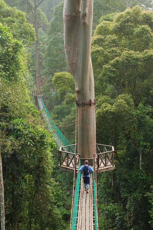 This amazing canopy walk is one of the best in the world where you explore the canopy of the forest reserve in Danum Sabah Borneo. & Hidden Unseen: Top 10 Amazing Treetop Walkways in the World