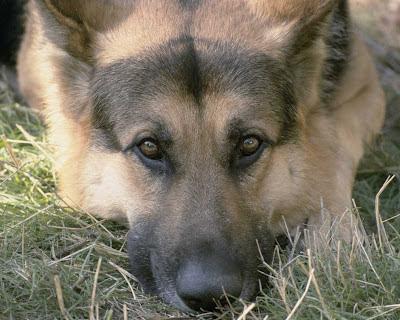 berger allemand, chien couché