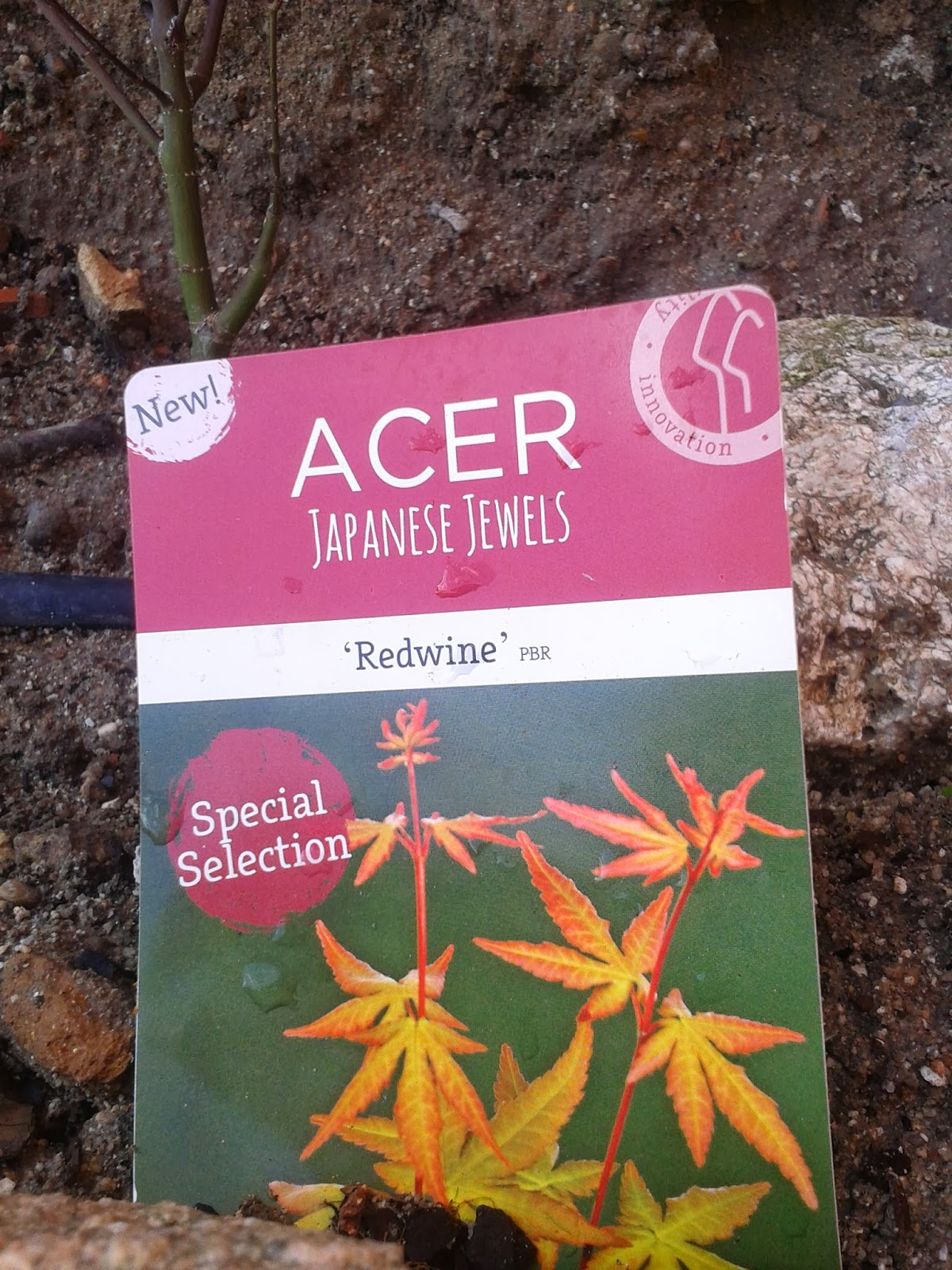 Acer Palmatum Redwine 2014-02-10+10.53.32