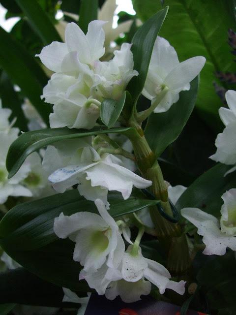 orchid gardens dendrobium nobile. Black Bedroom Furniture Sets. Home Design Ideas