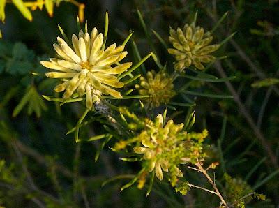 Needle-Leaved Petrophile (Petrophile brevifolia)