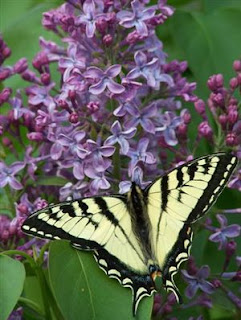 lavender lilacs with yellow butterfly