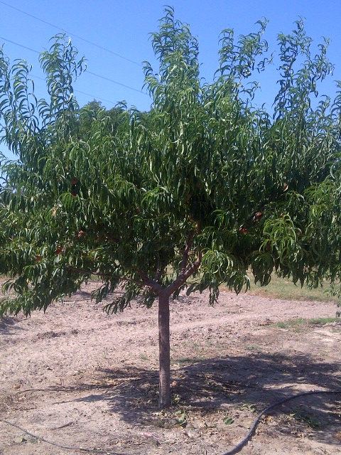White Peach Tree