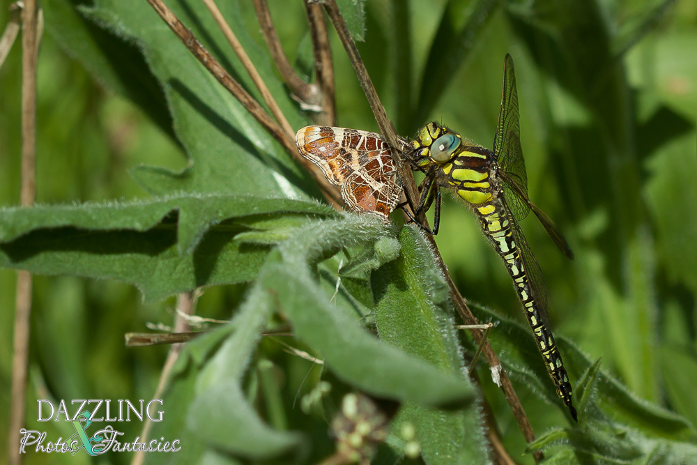 libelle met prooi