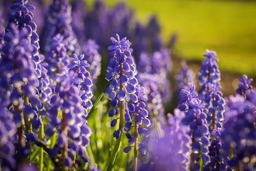 Grape Hyacinth blooms in spring