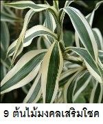9 ต้นไม้มงคลเสริมโชคลาภ