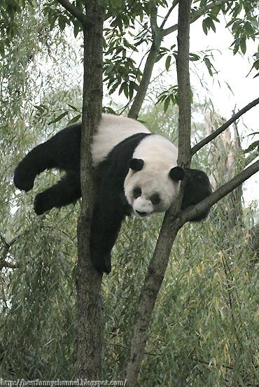 Funny panda on the tree.