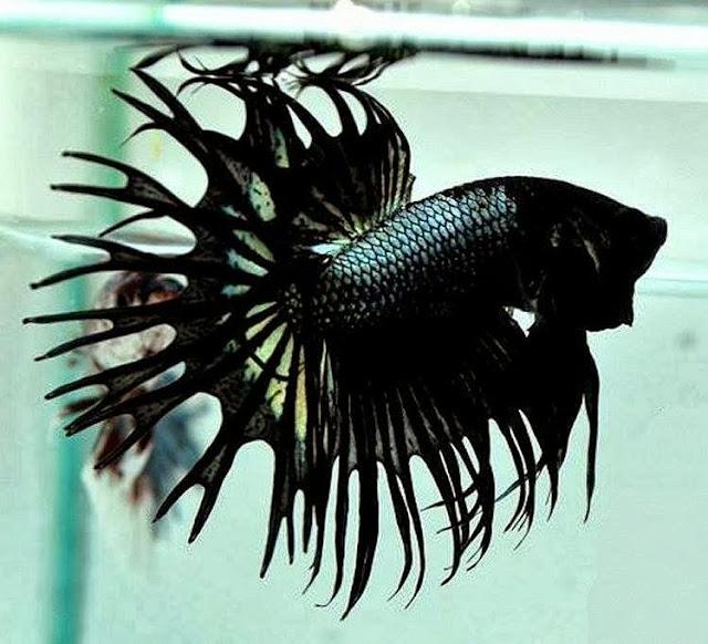 Betta splendens les plus belles photos de bettas for Black betta fish