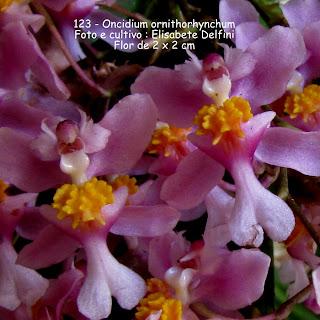 Oncidium ornithorchynchum  do blogdabeteorquideas