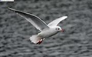 Seagull Birds HD