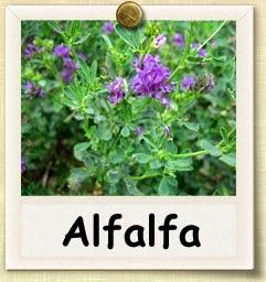 7 BAHAYA ALFALFA !!