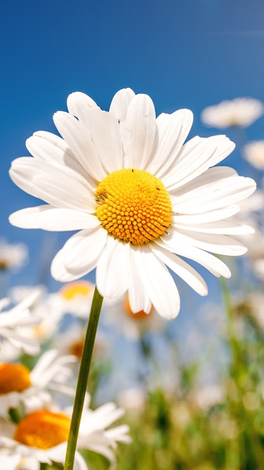 Daisies Field Flowers Galaxy Note HD Wallpaper