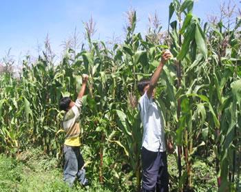 La etnia cultural chol la etnia chol for Sembrar maiz y frijol juntos