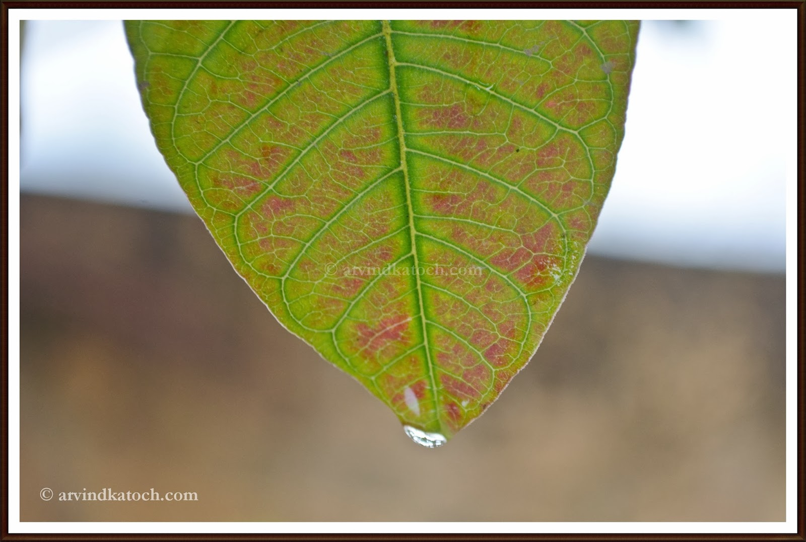 Guava leaf, close up, water drop.