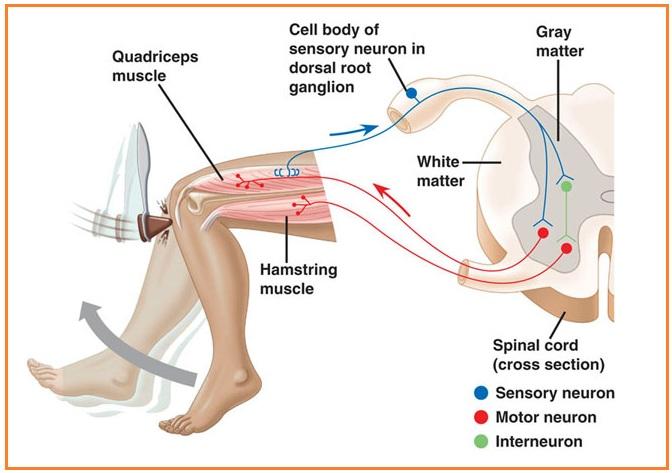 contoh gerak reflek lutut
