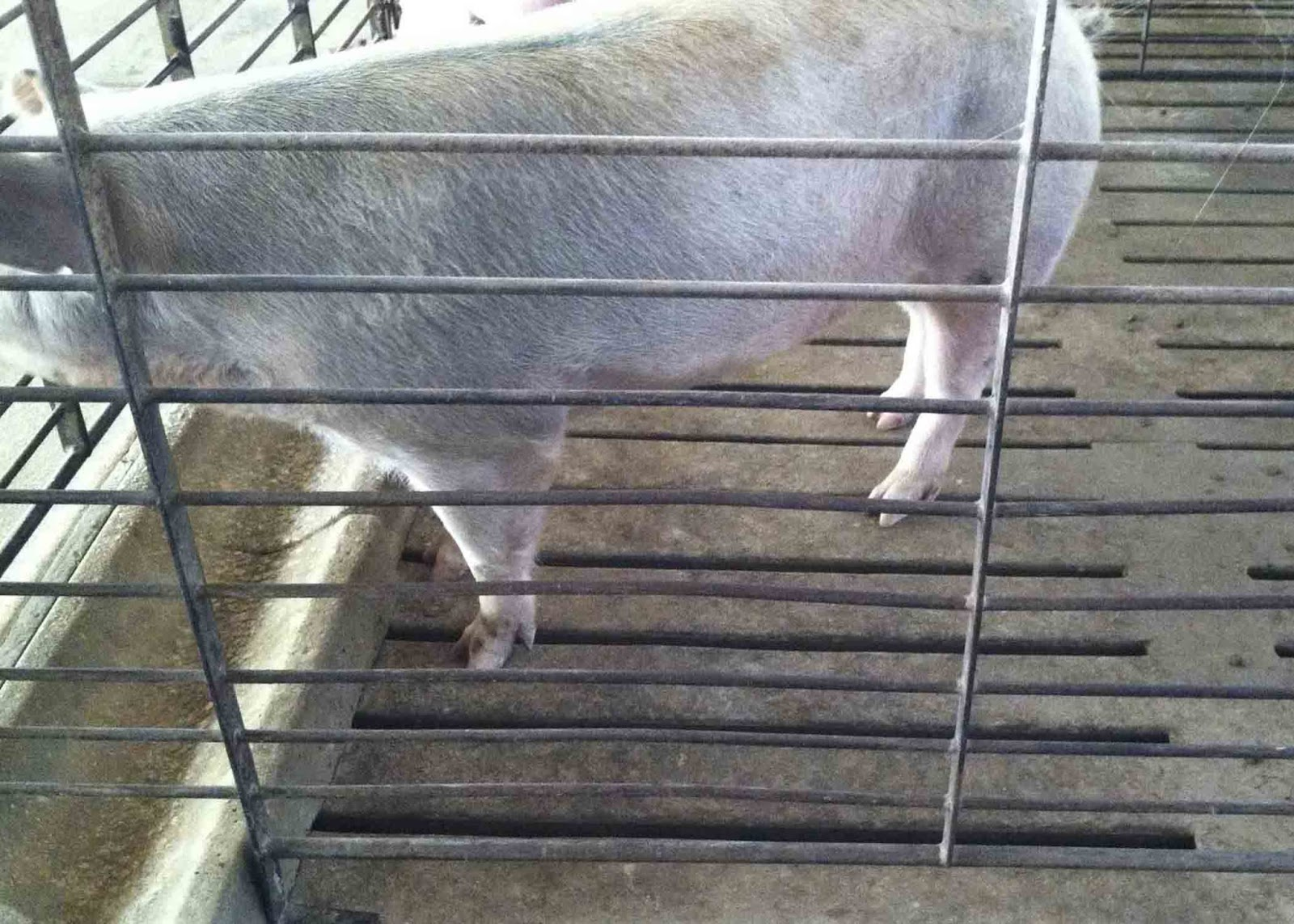 Slatted Floors For Pigs Fair Oaks Farms 26th July 2014
