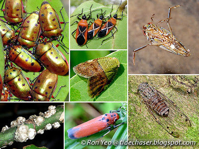 True Bugs (Order Hemiptera)