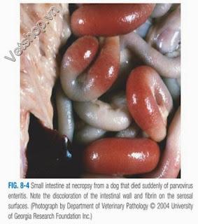 Hình 4: Thành ruột dày và nhiều đoạn bị đổi màu, xù xì hoặc bám fibrin trên bề mặt màng thanh dịch; niêm mạc ruột bị bong tróc, sẩm màu, đôi khi có máu.