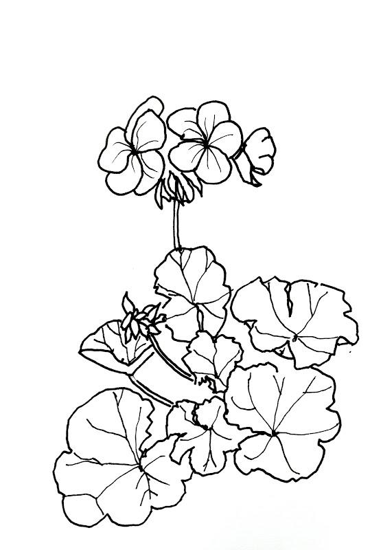geranium flower drawing - photo #6