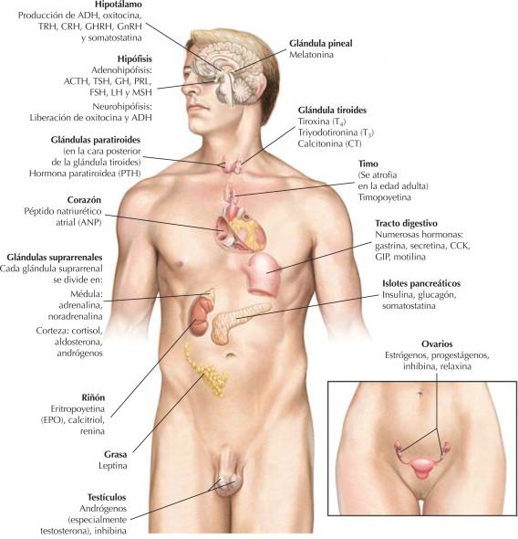 Sistema endocrino: organización | Netter Blog