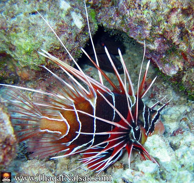 أجمل 10 أسماك ملونة في عالم البحار '' بالصور '' 6.jpg