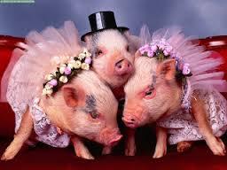 Imagenes Graciosas de Animales, Cerdos