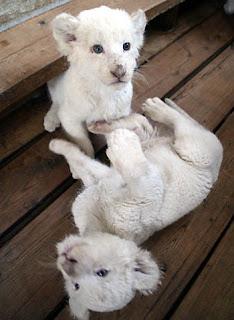 Anak Singa Putih Lucu Menggemaskan
