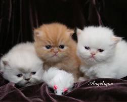 Cara Merawat Kucing Anggora Dan Tips Budidaya Kucing Persia