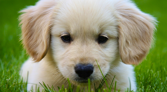 All About Golden Retrievers!: All About Miniature Golden ...