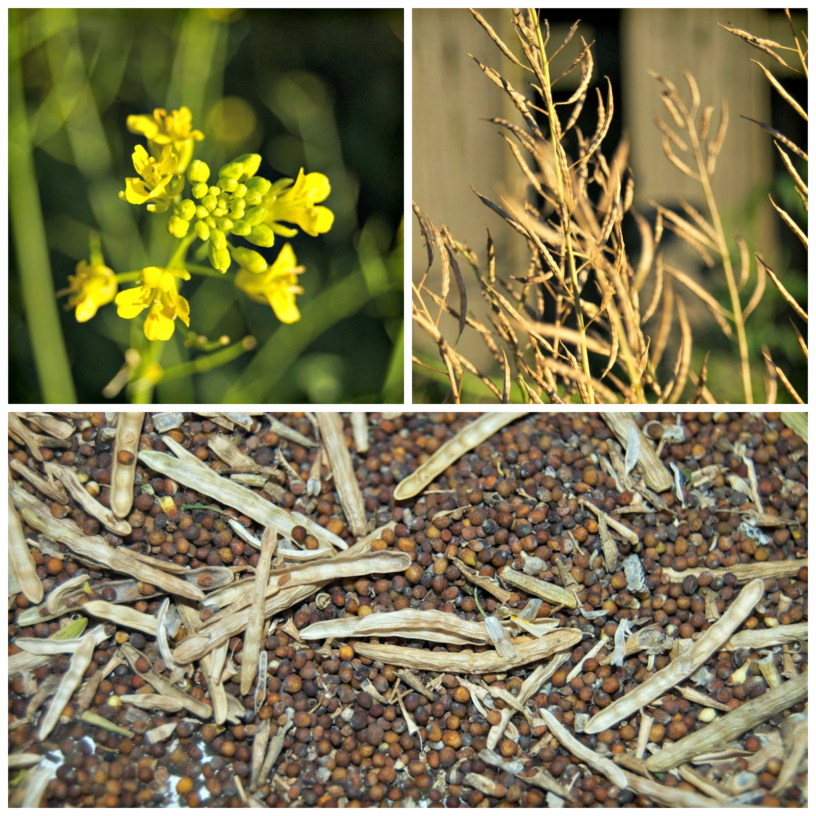 mustard plant uses Learn how you can make mustard from wild mustard plants the leaves, flowers and roots can all be eaten if picked while young and tender.