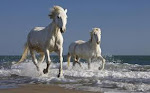 white stallions of the carmargue