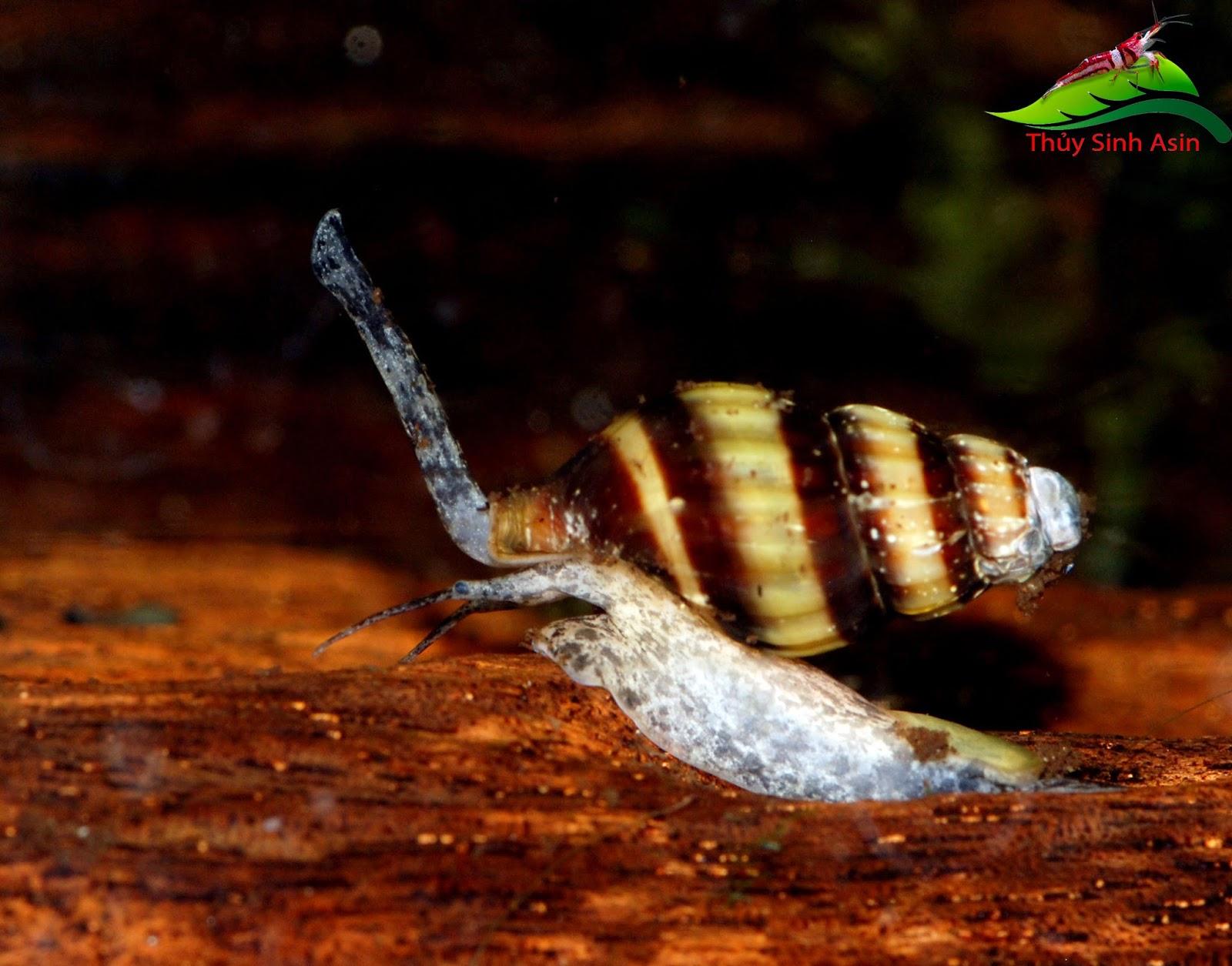 Ốc Helena - Ốc ăn ốc trong hồ thủy sinh có màu vàng rất đẹp