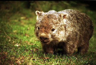Wombat Wallpapers