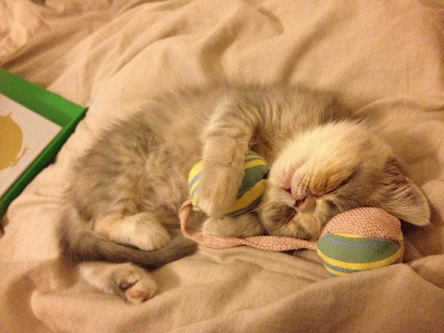 kitten sleeps with toy, funny cat pictures, funny cats