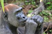 Gorila embra