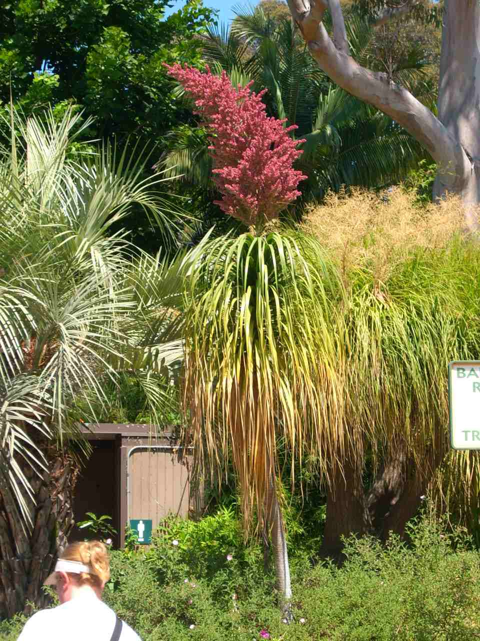 Trees planet beaucarnea recurvata ponytail palm beaucarnea recurvata ponytail palm mightylinksfo