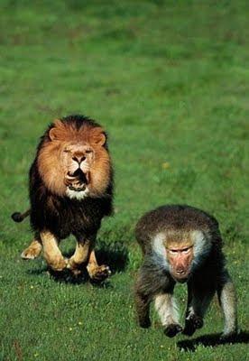 leon+sigue+a+un+mono Imagenes de animales Divertidos