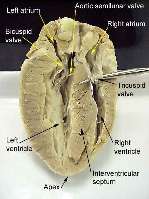 Science Amp Life Heart Dissection