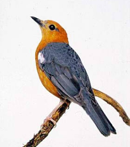 Merawat Burung Anis Merah