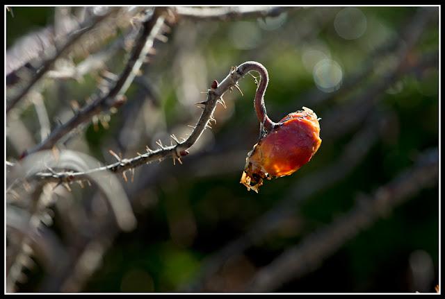 Nova Scotia; Garden; Rose Hip