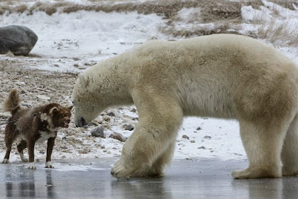 Anjing Penjaga Ini Lawan Beruang Kutub dengan Gonggongannya