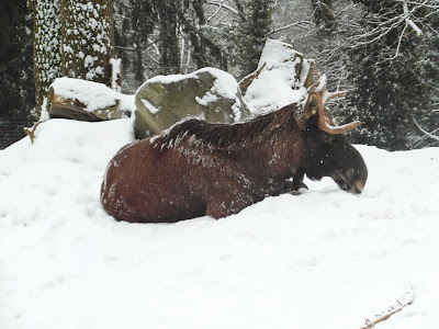 Sleepy Moose in Alpenzoo