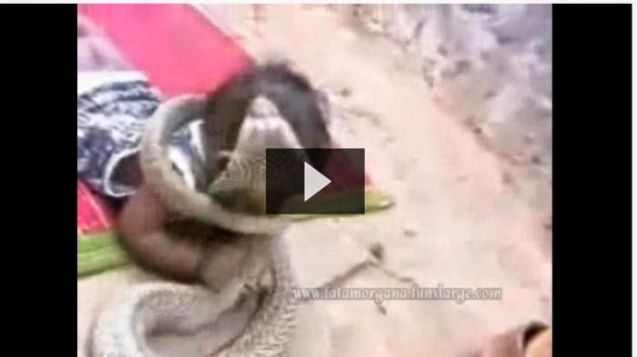 Video Bayi Kecil Vs Ular Kobra