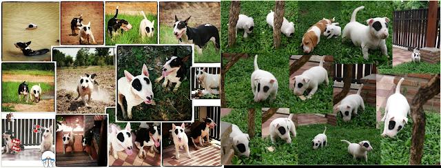 http://panda-bull-terrier.blogspot.com/2012/11/bull-terrier-my-puppy-pancake-bull.html