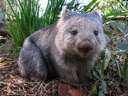 Australian Wombats