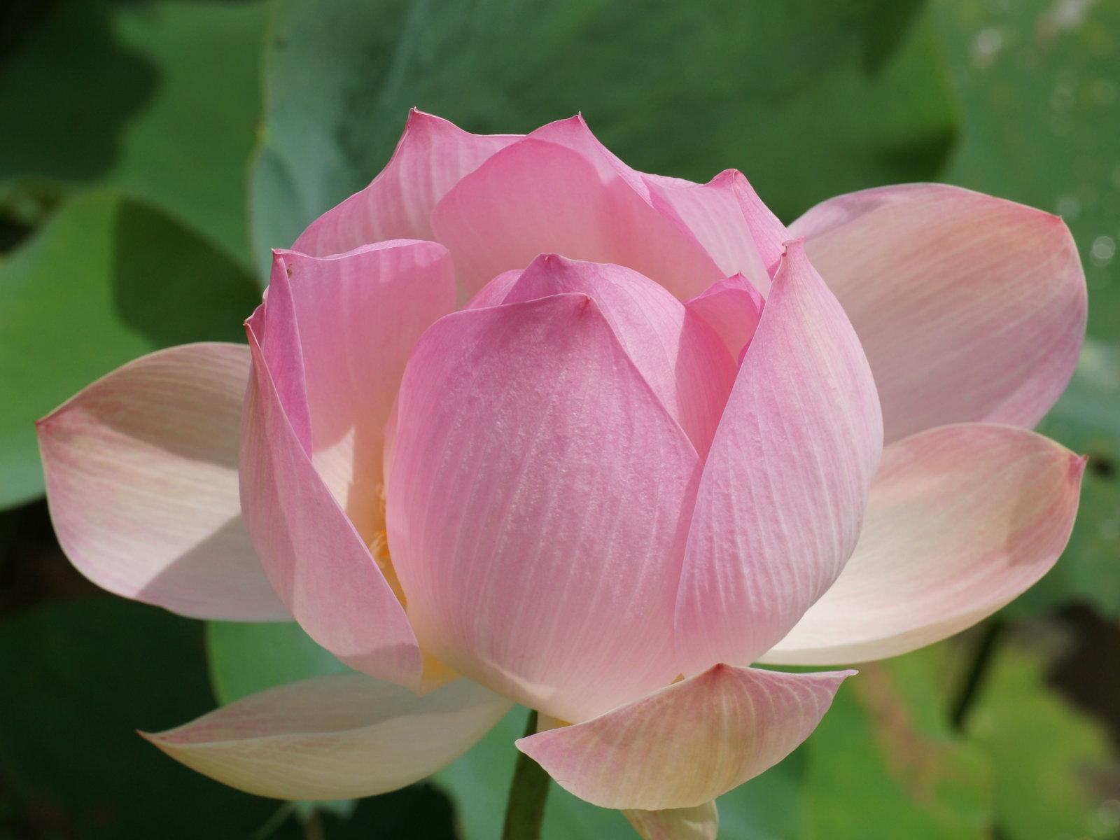 flower picture lotus flower 4