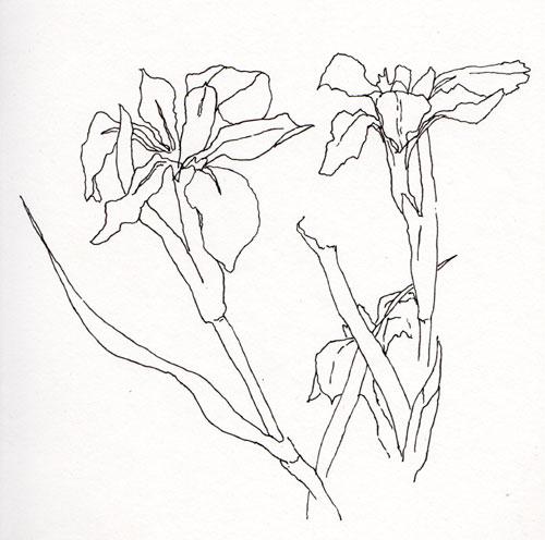 Contour Line Drawing Leaf : Pen pencil paper—draw contour drawing irises
